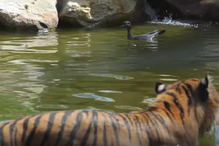 What the duck Video of worlds bravest duck playing with 126kg tiger for fun is swag level 10000
