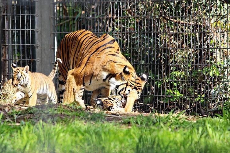 Four tiger cubs born in Chennais Vandalur zoo die probe ordered