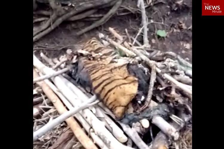 Two tigers found dead in Karnataka heads limbs cut off