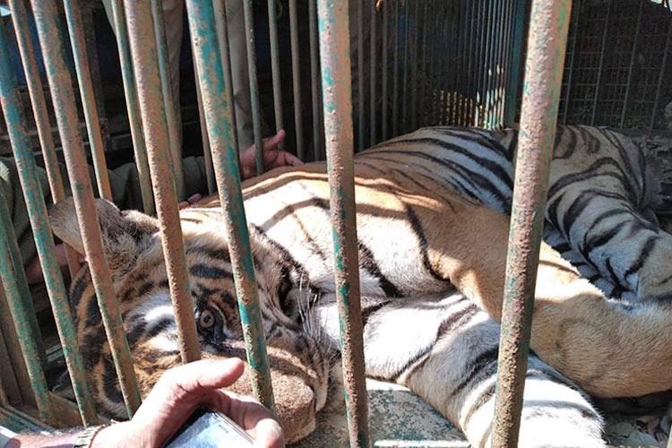 Tiger which killed 2 people in Nagarahole captured by forest officials