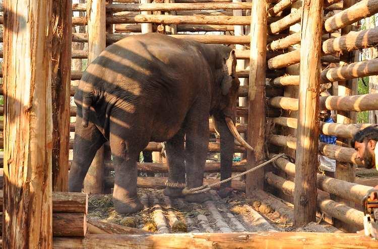Captured for being a crop raider this Kerala tusker has not seen the wild in three months
