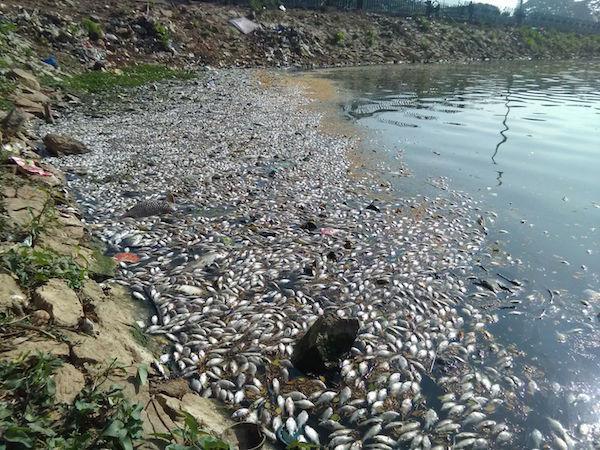 Has Bengalurus Ulsoor lake devoured development money and vomited dead fishes