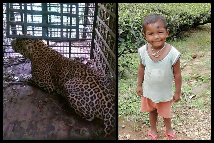 Days after 4-yr-old mauled to death in Valparai leopard trapped