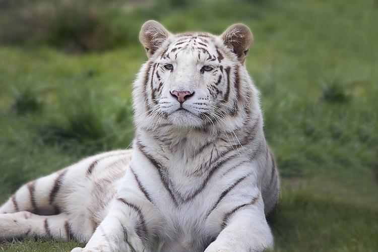 White tiger from Chennai zoo gets new home in Udaipur one hitch - it knows only Tamil
