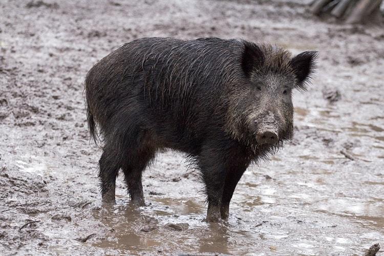 Karnataka govt allows Ramnagara farmers to hunt wild boars if found damaging crops