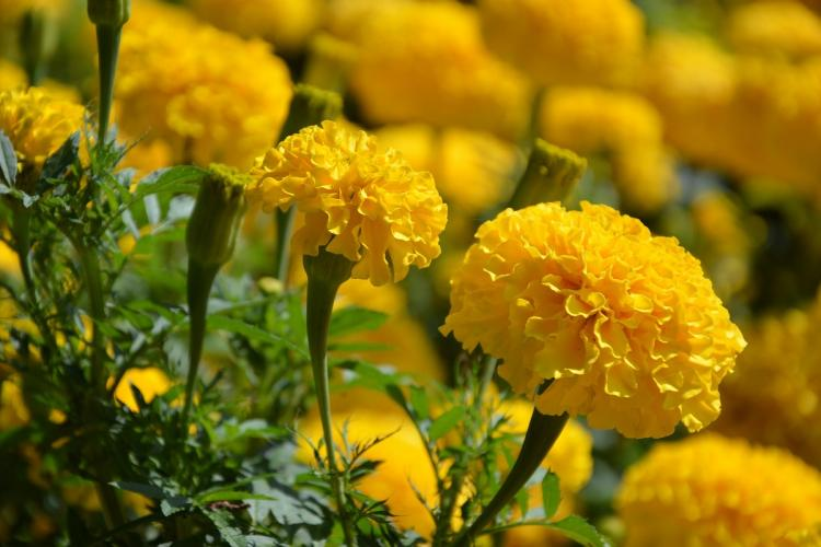 Two golden yellow marigolds closeup in a field full of marigolds