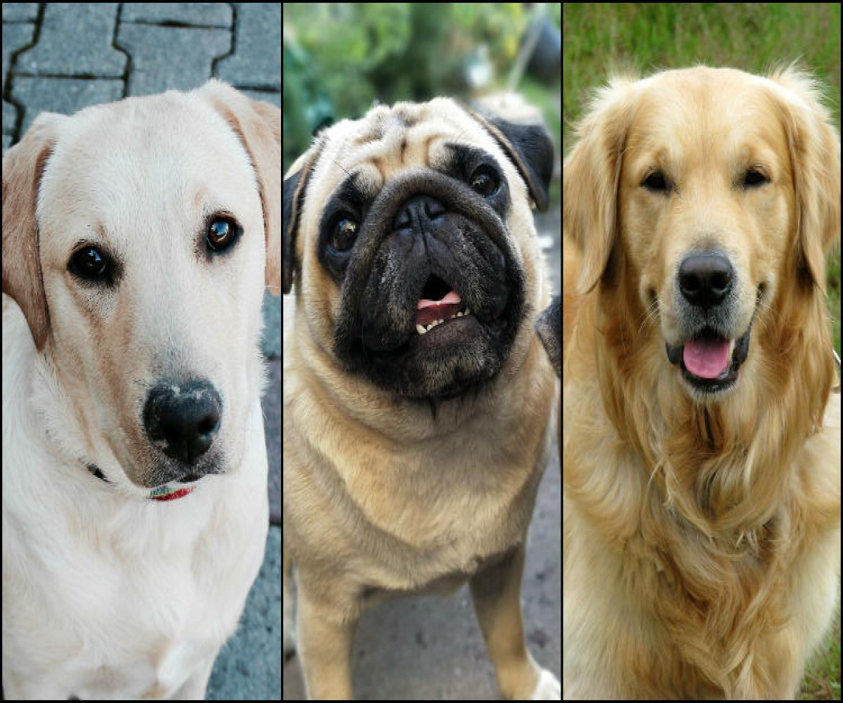 Why Are The Most Loved Dog Breeds Also Most Abandoned In India The News Minute