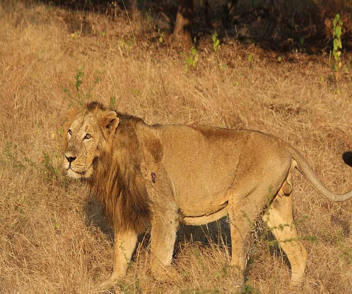 Eight Asiatic lions at Hyderabad zoo test positive for coronavirus