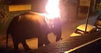 Elephant with its head set on fire in Masinagudi in Tamil Nadu