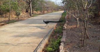 A peacock roaming in KBR park