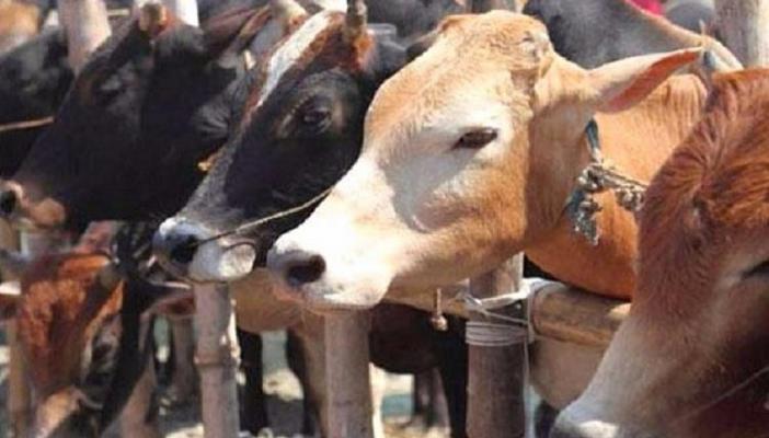 Consider farmers while implementing anti-cattle slaughter ordinance Karnataka HC
