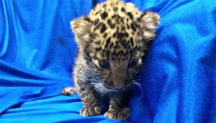 Watch Month-old leopard cub rescued at Chennai airport by customs