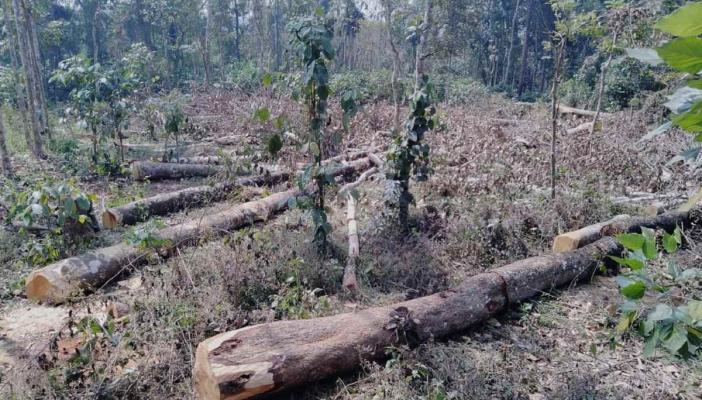 Trees felled in Muttil